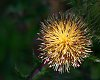 -thistle-burst-2-rs.jpg