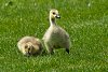 -gosling-i-301513.jpg