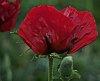 -first-poppy.jpg