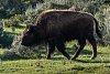 -bison-i-320986.jpg