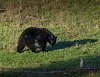 -black-bear-i-320916.jpg