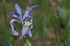 -wild-iris.jpg