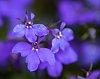 -blue-flower-i-302261.jpg