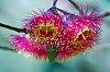 -eucalyptus-flower-1.jpg