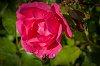 -rose-bug-drops.jpg