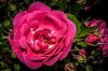 -roses-bug.jpg