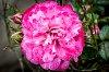 -last-rose-day.jpg