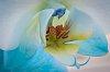 -dreamy-orchid.jpg