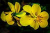 -yellow-pansy.jpg