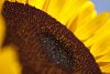 -sunflower.jpg