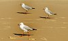 -triple-gulls.jpg