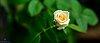 -rose1.jpg