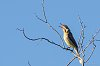 -spiny-cheeked-honeyeater-1.jpg
