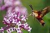 -hummingbird-moth-laurie-volk.jpg