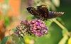 -butterfly-091514.jpg