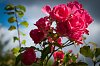 -autumns-last-roses.jpg