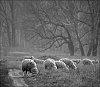 -1828_sheeps.jpg