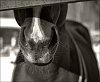 -p2579_horsenose.jpg