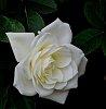 -white-rose.jpg