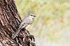 -mockingbird-rz.jpg