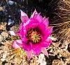 -hedgehog-cactus.jpg