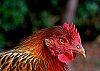 -thanksgiving-chickenrs.jpg
