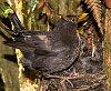 -nz-blackbird-staglands.jpg