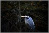 -blue-heron2rs.jpg