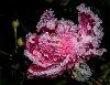 -diamond-rose.jpg