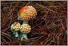 -mushroom2rs.jpg