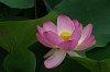 -lotus-flower-1.jpg