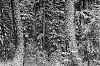 -forestsnowstlforestmt-1.jpg