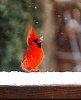 -cardinalsnow.jpg
