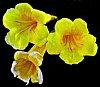 -261475d1426142310-macro-trumpeting-spring-yel-thrum.jpg