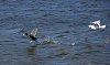 -gull-vs-duck-032315.jpg
