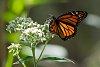-monarch-.jpg