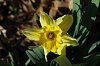 -daffodil-1.jpg