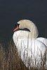 -swan-135mm-resize.jpg