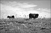-cows-birds.jpg