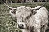 -highland-cow-tpzdbw-v2-042515.jpg
