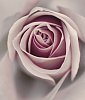 -rose22.jpg