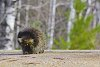 -south-end-porcupine.jpg