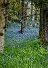 -bluebell-wood.jpg