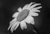 -daisy-tpzbw-060215.jpg