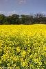-yellowfield.jpg