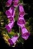 -foxglove-sunshine.jpg