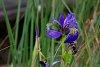 -blue-flag-iris.jpg