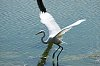 -great-egret.jpg