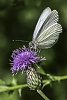 -backyard_wildflowers_and_bees_2015-92-117-5789-butterfly-thistle-narrow-1-posting.jpg