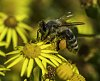 -backyard_wildflowers_and_bees_2015-40-117-5737-shellys-bee-nr-3-posting.jpg